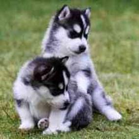 Male and female siberian huskie pups(404 )827-8596