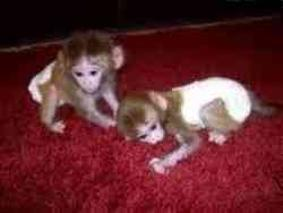 Capuchin Monkeys Available Text (276) 250-4382