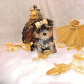 Healthy Akc Yorkie puppy ready to go(Female)