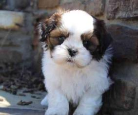 Gorgeous shih tzu puppies all ready