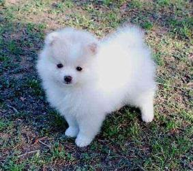 Tea Cup Pomeranians Puppies For Sale $500