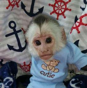 Healthy Female White Face Capuchin Monkey For Sale