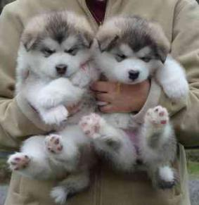 2 Alaskan Malamute Puppies For Sale To Good Homes