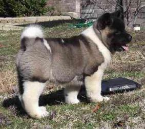 10weeks old akitas puppies for kids companion
