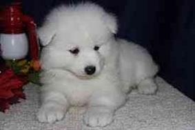 mvndgf pure breed samoyed puppy puppies for xmas