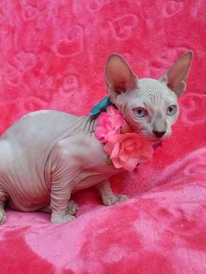 Des Moines : Bambino Sphynx Kittens Sphynx Cat