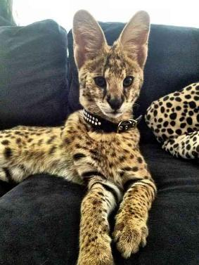 Serval Bengals and F1-F4 Savannah kittens