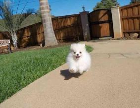 Outstanding Pomeranian Pups Available 2015806977