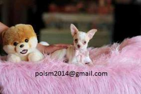Teacup Female and male Chihuahua Puppies