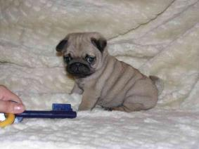 Pug puppies available males and females.