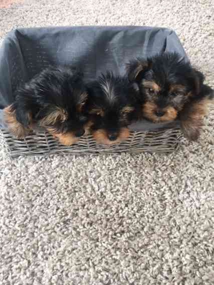 St Louis Small Tiny Teacup Yorkie Puppies Available Yorkshire