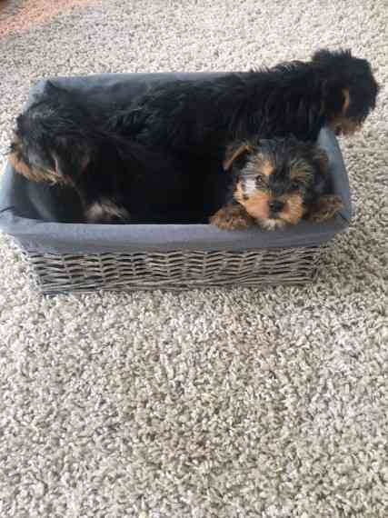 Detroit : Tiny Teacup Yorkie Puppies Yorkshire Terriers