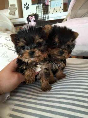 Teacup Yorkie Puppies For Adoption (215) 596-1217