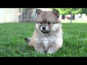 Puppies Pomsky 2 boys and 2 girls are available