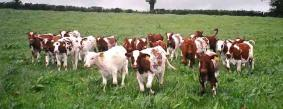 Dairy Calves,Heifers and Pregnant Cows available