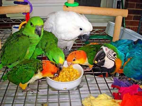 Los Angeles : Parrot Chicks And Fertile Eggs For Sale Macaws
