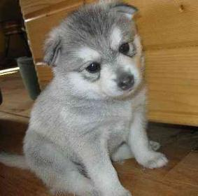 gdfs Alaskan Klee Kai puppies for sale