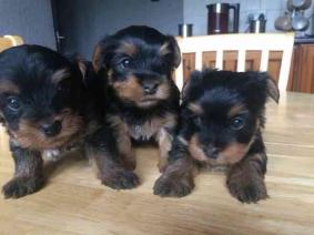 Free Beautiful gorgeous yorkies puppies not for se