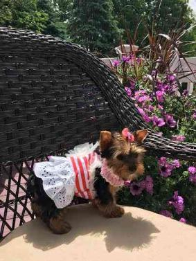 Two Healthy Teacup Yorkie Puppies (501) 503-075