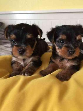 Cute and Adorable Yorkie puppies Adorable Male a