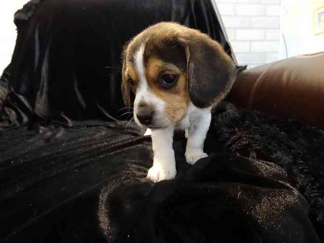 San Fernando Valley : Super Cute Beagle Puppies Available For