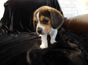 Potty Trained Beagle Puppies for New Homes