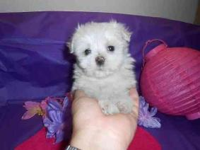 12 Weeks Gorgeous T-Cup Maltese Puppies Available