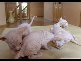 Cute Bold and Wrinkly Sphynx Kittens Available