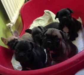 Male and Female French bulldog puppies available.