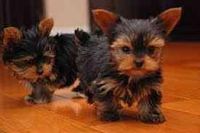 FREE Yorkies GORGEOUS PUPPIES NOT FOR SELL FREE) N