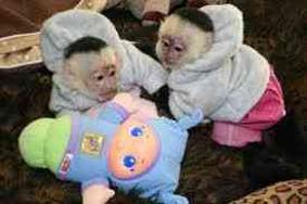 Primates available for good and caring families .
