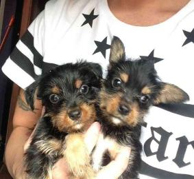 Yorkshire Terrier Puppies For Free