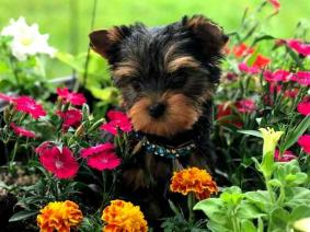 AKC Yorkshire Terrier Puppy For Free