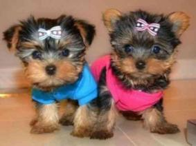 Well trained Yorkie puppies Male and female