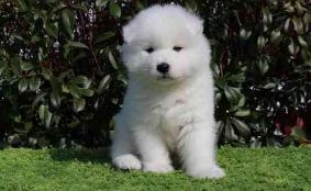 UKC Samoyed Puppies . Call and Text (405) 309-9198