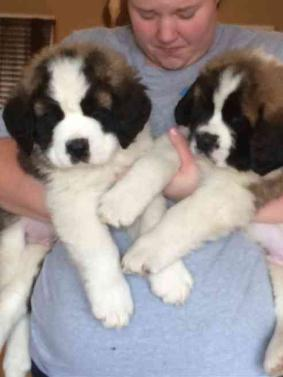 Male and Female Saint Bernard Puppies For Sale Now