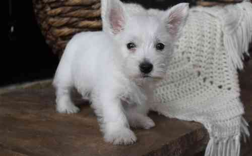Detroit Well Socialized Westie Puppies For Sale West Highland