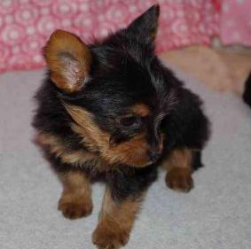 Top quality AKC Yorkie puppies. (405) 309-9198