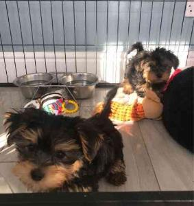 Yorkshire Terrier Puppy For Free