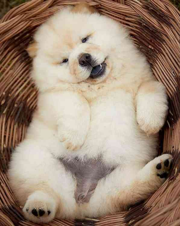 Lawrence Super Cute Chow Chow Puppies For Sale Chow Chows
