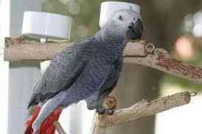 male and female african grey vaccinated and ready
