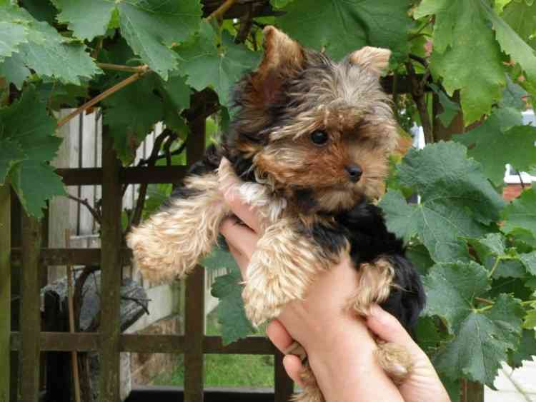 San Jose Yorkie Puppies For Adoption Yorkshire Terriers