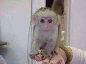 Adorable Capuchin Monkeys For Sell