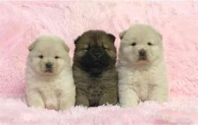 6-week old Chow Chows puppies for adoption
