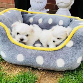 Available Beautiful Maltese puppies now for sale.