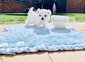 Beautiful Maltese puppies for sale.
