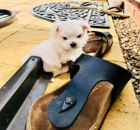 Maltese puppies For Sale.(646) 481-0594