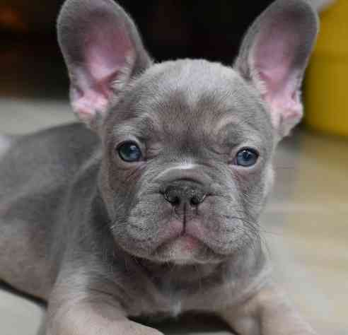 United States Cute French Bulldog Puppies Sale French Bulldogs