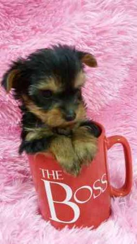 Magnificent Male $ Female Yorkie puppies..babies