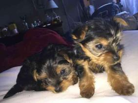 Outstanding Yorkshire Terrier Puppies Available.